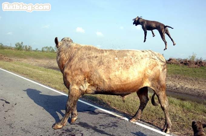Drole de vache hahaha - Photo de vache drole ...